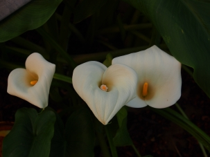Calla Lily Group