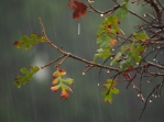 Oak leaf in Rain