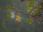 Same Oak leaf in Rain