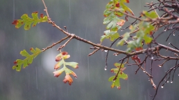 Rain Drops & Oak leaves