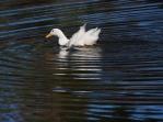 Paddeling Duck