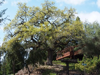 Oak against Sky