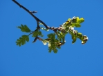 Brown & Twisted Oak leaves