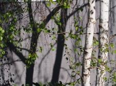 Birch trunks & shadows