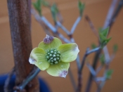 Early Dogwood bloom